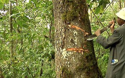 Afrička Šljiva – Drvo lekovite (potentne) kore!